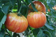 Tomate Striped German - Variété de mi-saison, aux très gros fruits rouges striés de jaune (magnifiques en tranches) . Excellente saveur. Très sucrés.