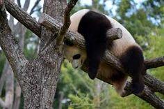 Panda - Save The Pandas, Panda Bear, Animals, Animales, Animaux, Panda, Animal, Animais, Pandas