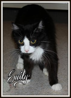 Emily is a beautiful young mother. She is loving in every way. She gets along with with others and took excellent care of her babies even though she is just a baby herself. Emily cared for 3 kittens- although they weren't all hers. One kitten was a...