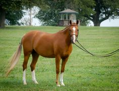 Bailey's Royale, one of the most beautiful ponies I've ever had the pleasure to photograph.