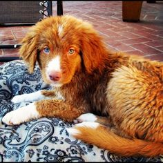 Nova Scotia Duck Tolling Retriever puppy, sooo pretty!