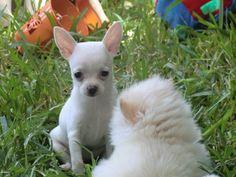 chihuahua | ... Cantillana / Chihuahua / Precio Chihuahua – Criadero de…