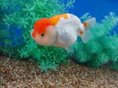 Lot# 9552 SHOW QUALITY Red & White Ranchu with a buffalo head (4.75 inches) goldfishnet.com