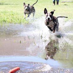 Looks like Ethel got the drop on Lucy this go round!! #fetch #dirtydog #muddog #adorabull #apbt #apbtlove #pit #pitbull #pitbulladvocate #pitbulllove #pitbulllife #pitty #pibble #pitsofig #pitstagram #pitsofinstagram #dog #prettypitty #followme #americanpitbullterrier #dogstagram #floppyears #swimdog #playingchase } Photo : http://bit.ly/22cvyjw