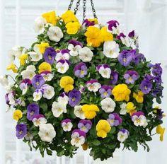Hanging pot of pansies