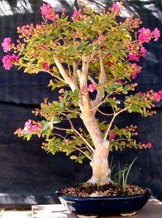 Photo du bonsai : Arbre de Judée (cercis siliquastris)