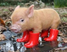 Clive, miniature pig from Pennywell Farm in Devon, England. Clive did not like having wet feet, so he was fitted with miniature red wellies.