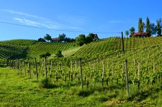 #vineyard #wine #steiermark #austria