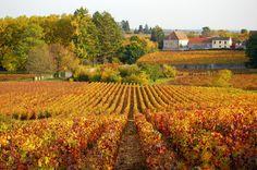 Vignoble en automne, Franche-Comté
