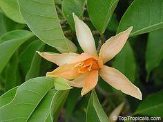 Magnolia champaca ~ a tropical magnolia