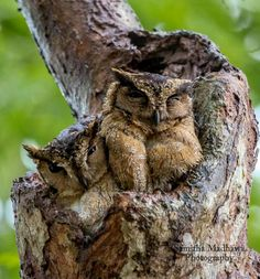 Collared Scops Owl couple-Sri Lanka