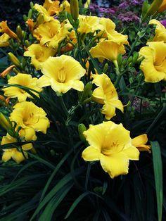 Hemerocallis - Stella D'Oro (Daylily, Spider Lily)