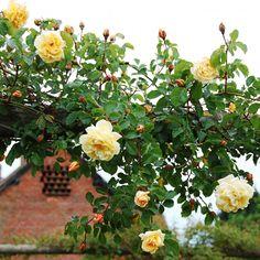 Easlea's Golden Rambler - Ramblerrosen - Suche nach Rosentyp