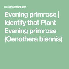 Evening primrose | Identify that Plant Evening primrose (Oenothera biennis) Evening Primrose, Plants, Plant, Planets