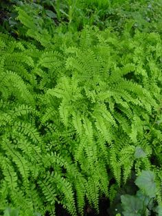 Northern maidenhair fern great for shade gardens