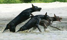 #Dobermans Doberman Love, Blue Doberman, Pincher Dog, Dog Items, Doberman Pinscher, Service Dogs, Working Dogs, Dog Photos, Mans Best Friend