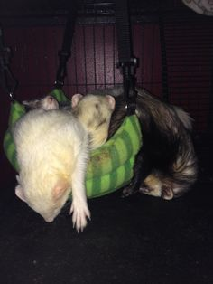 Happiness is a basket full of ferrets!
