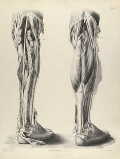 Anatomie : Richard Quain. Plate 81 from The anatomy of the arteries of the human body, with its applications to pathology and operative surgery.