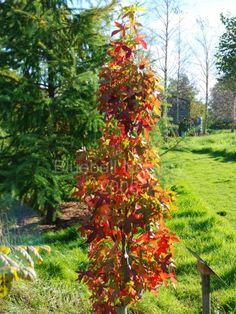 Liquidambar styraciflua 'Slender Silhouette' (Columnar Sweet Gum) - An exceptionally narrow tree with good strong red and orange autumn colour. Trees And Shrubs, Trees To Plant, Skinny Tree, Sweet Gum, Baumgarten, Amber Tree, Columnar Trees, Garden Pictures, Types Of Soil
