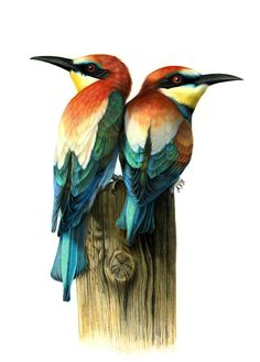 Ankat Hermanns ~ Bee-eaters on Wooden Pole ~ Watercolor & Colored Pencil