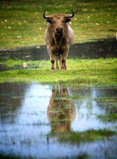 Toro, Naturaleza y Libertad... La dehesa...