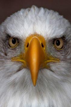 bald eagle ~ head on