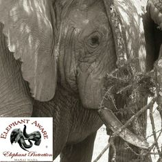 Seven words: WE WANT LIVE ELEPHANTS ~ NOT DEAD IVORY | Help us gain media sponsorships by liking IvoryForElephants on FB. Keep up with the news, read The Elephant Daily #ivoryforelephants #stoppoaching #elephants for #ivory ! #animals #killthetrade