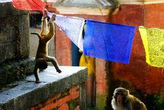 Monkeys playing on prayer flags at Swayambhunath
