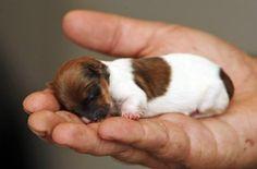 Nasce mini cadela que cabe na palma de mão.
