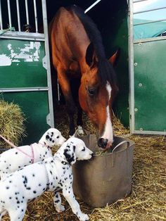 Dalmation Pups and a horse