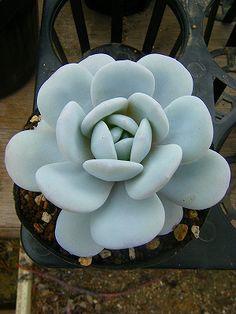 Gorgeous succulent: Echeveria lauii