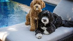 If you're forever devoted to the Poodle or Bernese Mountain Dog, wait until you meet the happy-go-lucky Bernedoodle! Bernese Mountain Dog Poodle, Mountain Dogs, Large Dog Breeds, Best Dog Breeds, Dog Breed Info, Mix Breed Dogs, Designer Dogs Breeds, Bernedoodle Puppy, Greenfield Puppies