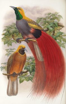 Bird of paradise 1891 antique prints 17 printable high quality