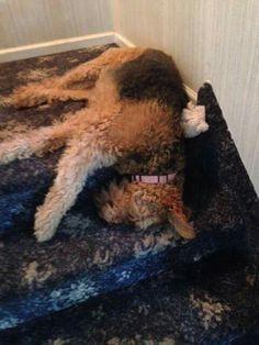 Airedale Sleep Position #435