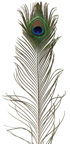 Deluxe Extra Long Eyed Peacock Feathers - Quality natural feathers at discount prices...