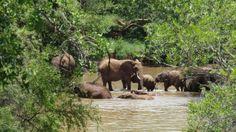 A herd of Elephants taking a bath in the Marico River at Madikwe Game Reserve. #elephants #elefanten #elephant #bigfive #southafrica #südafrika #wildlife #africamazing #tiere #animals