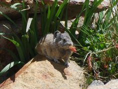 Today's cute pika photo-eating lunch in Yosemite.