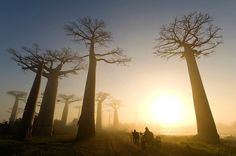 avenue of the baobabs, madagascar. credit: marsel van oosten