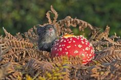 WHAT A FUN GUY Phil Winter, 72, from East Sussex: 'I was in the local woods when I noticed this mushroom had been nibbled. Then this little bank vole came out to finish his snack.'