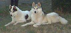 A black and a grey piebald side by side. #siberianhusky