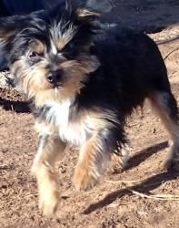 Charlie is an adoptable Yorkshire Terrier Yorkie Dog in Prague, OK. Please FILL OUT THE APPLICATION no more than 1 day BEFORE YOU CAN VISIT THE DOGS. it does not obligate you to adopt, but we have to ...