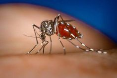 Asian Tiger Mosquito Facts | Asian Tiger Mosquito | Aedes albopictus photo