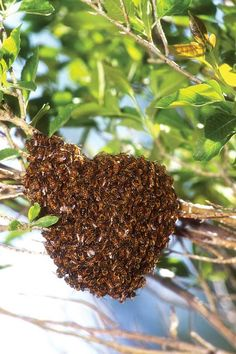 Be prepared this spring and summer and capture free honeybees in the form of a honeybee swarm.