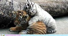 cute animals - Baby Tigers