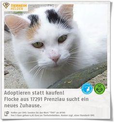 Flocke wurde wegen gesundheitlicher Gründe der Besitzerin im Tierheim Prenzlau abgegeben   Flocke kommt gut mit anderen Katzen aus, wird aber auch in Einzelhaltung abgegeben. Freigang ist im neuen Zuhause wichtig.