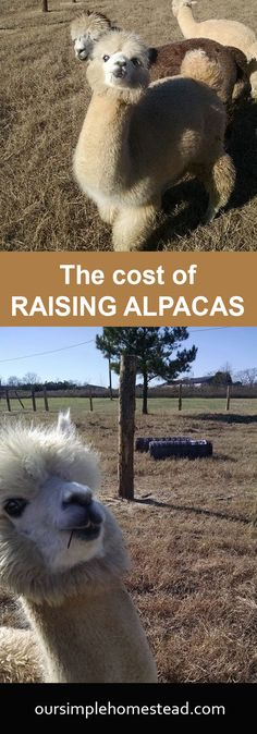 The Cost of Raising Alpacas - How much does it cost to raise alpacas? After months of researching on the in's and out's of raising alpacas it's getting close for us to add a few to our homestead. Besides them being just adorable they have to serve a purpose.