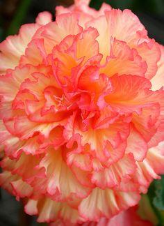Pink & Ivory Begonia, love the begonias