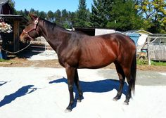Nelly is a young, super quiet and very easy to work with Thoroughbred mare for adoption out of J&M Acres Horse Rescue in Maple Ridge, BC. She would make a great children's or beginner mount with a little bit more training!