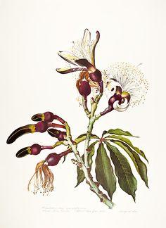 Pseudobombax grandiflorum - Margaret Mee