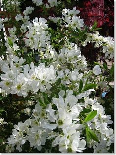78 best spring shrubs bushes images on pinterest nature flowers pearl bush spring flowering bush mightylinksfo